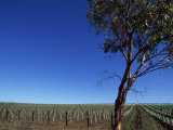 Newly Planted Vines, Mclaren Vale, Seaview Road, South Australia, Australia, Pacific Photographic Print by Neale Clarke