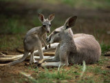 Mother and Young, Western Gray Kangaroos, Cleland Wildlife Park, South Australia, Australia Photographic Print by Neale Clarke