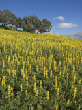 Fields of Wild Lupins Near Cercal, Beja District, Portugal, Europe Photographic Print by Neale Clarke