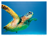 Hawaiian Green Sea Turtle Kunstdrucke von Theresa Young