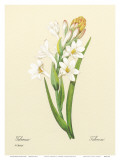White Tuberose, c.1833 Art by Pierre-Joseph Redouté