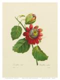 Passionsblume Poster von Pierre-Joseph Redouté