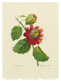 Red Passion Flower Posters by Pierre-Joseph Redouté