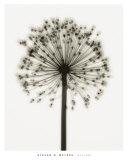Alliums Posters par Steven N. Meyers