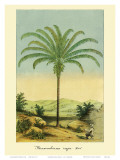 Maximiliana Palm Tree, Botanical Illustration, c.1854 Print by Ch. Lemaire