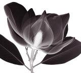 Magnolia Print by Steven N. Meyers