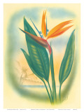 Hawaiian Bird of Paradise, c.1940s Poster by Ted Mundorff