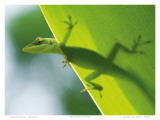 Here's Looking at You Kid, Hawaiian Green Gecko Poster von Devon Stevens