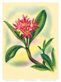 Pink Plumeria, from In An Old Hawaiian Garden c.1947 Prints by Ted Mundorff