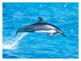 Hawaiian Spinner Dolphins Plakater av Michael S. Nolan