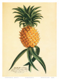 Ho'okipa, Hawaiian Pineapple c.1742 Prints by Georg Dionysius Ehret