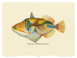 Nakunuku, Hawaiian Fish, Illustration, c.1905 Prints