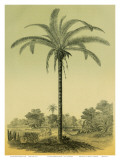 Astrocaryum Chambira Palm Tree, Botanical Illustration, c.1854 Poster by Ch. Lemaire