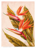 Hawaiian Bird of Paradise, c.1940s Prints by Ted Mundorff