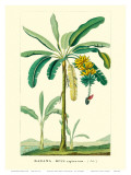 Banana Tree, Botanical Illustration, c.1855 Prints by Ch. Lemaire
