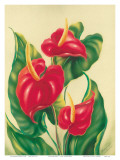Anthurium II, Red Hawaiian Tropical Flowers Art by Ted Mundorff