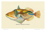 Nakunuku, Hawaiian Fish, Illustration, c.1905 Posters