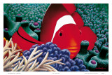 Diva, Tomato Clown Fish Posters by Mark Mackay