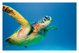 Hawaiian Green Sea Turtle Poster von Theresa Young