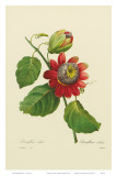 Red Passion Flower Art by Pierre-Joseph Redouté