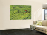 Tea Plantation, Kerala, Southern India Wall Mural by Peter Adams