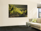 Vineyard, Napa, Napa Valley, California, USA Wall Mural by Walter Bibikow