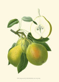 Antique Green Pear Prints
