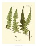 Antique Fern VII Giclee Print