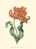 Tulipa VI Prints