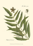 Small Antique Fern II Plakater