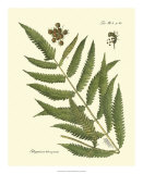 Antique Fern II Giclee Print