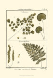 Fern Classification IV Prints by Denis Diderot