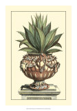 Antique Munting Aloe IV Prints by Abraham Munting