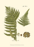 Small Antique Fern III Poster