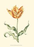 Tulipa III Poster