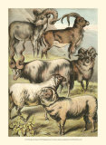 Sheep Poster by Henry J. Johnson