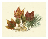 Red Maple, Tamarack and White Pine Giclee Print by  Denton