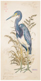 Tricolor Heron Prints by Chad Barrett