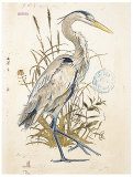 Great Blue Heron (detail) Prints by Chad Barrett