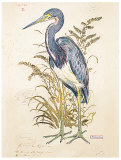 Tricolor Heron (detail) Posters by Chad Barrett