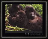 Mountain Gorilla Posters by Gerry Ellis