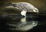 Drinking Falcon Print by Renato Casaro
