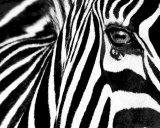 Black & White II (Zebra) Posters af Rocco Sette