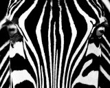 Black &amp; White I (Zebra) Art by Rocco Sette