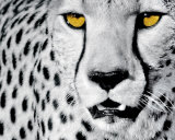 White Cheetah Posters par Rocco Sette