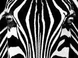 Black & White I (Zebra) Posters af Rocco Sette