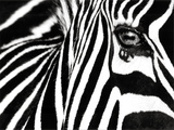 Black & White II (Zebra) Prints by Rocco Sette