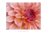 Graphic Dahlia II Prints by Rachel Perry