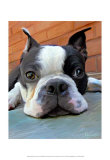 Moxley Boston Terrier Poster by Robert Mcclintock