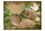 Vintage Apples IV Prints by Jason Johnson